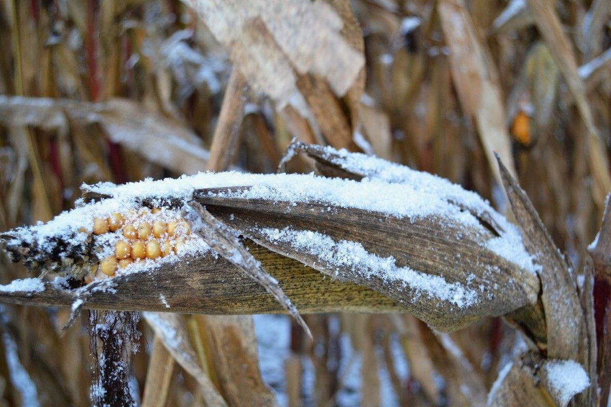 5 причин не оставлять кукурузу в поле на зиму