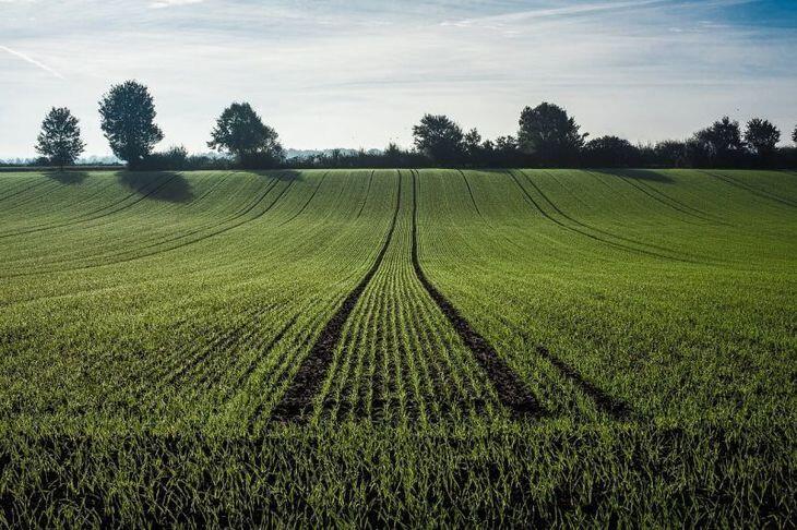 Чи варто пересівати пшеницю