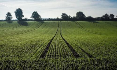 Стоит ли пересевать пшеницу