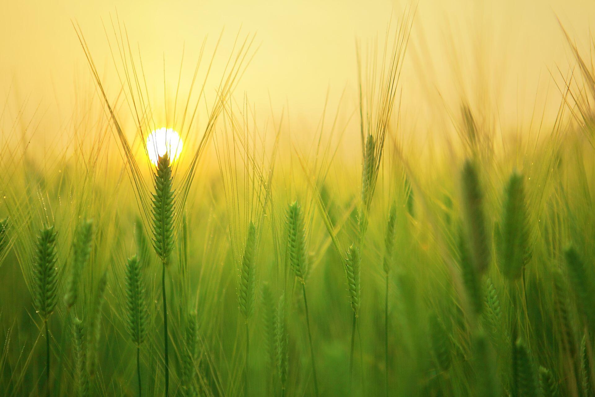 Нужно учиться выращивать озимые в условиях нетипичной зимы