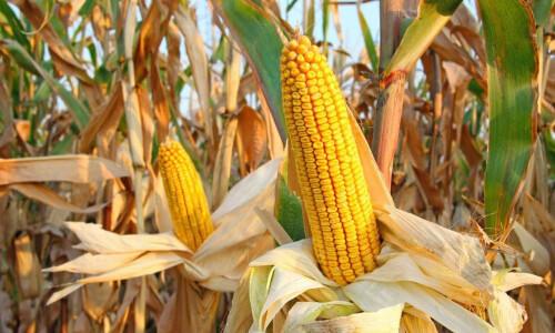 Почему важно убрать кукурузу вовремя?