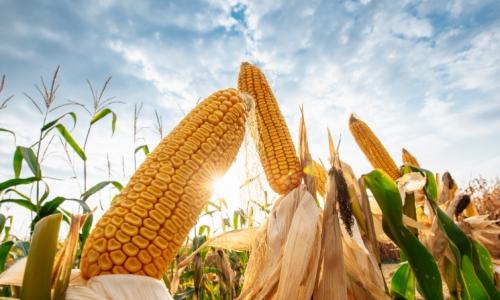 Как распределить посевные площади под кукурузой